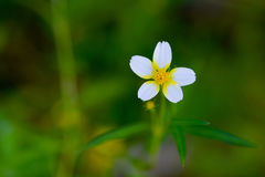 Small white flower. Royalty Free Stock Images