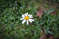 A small white flower called daisy. royalty free stock images