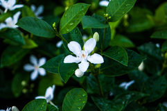 Small white flower. Close up of blossom of small white flower in Thailand Stock Photography