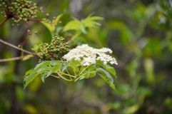 Small white flower cluster Royalty Free Stock Images