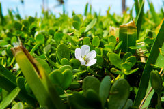 Small White Flower In A Field Stock Image