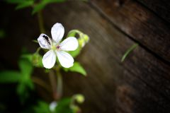 Small white flower in the forest. Small white flower in the forest with blurry background and a small fly on top Stock Photo
