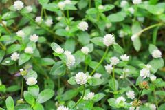 Small white flower with a green  background texture Top view.  Royalty Free Stock Photo