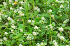 Small white flower with a green  background texture Top view.  Royalty Free Stock Photos
