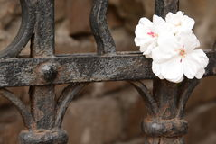 Small white flower on local town fence Royalty Free Stock Photos