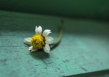 A small white flower lying on the wood with green paint. Close up a small white flower lying on the wood with green paint Stock Photos