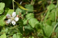 Small white flower, Mendips Stock Photos