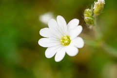 Small white flower over green background Stock Photography