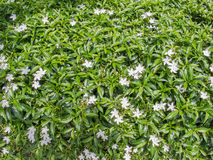 Small white flower plants. Under strong sunlight Royalty Free Stock Images