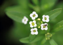 Small white flower with small fly. Sitting on the flower Stock Photography