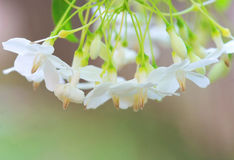 Small white flower, Wrightia religiosa Benth Stock Images