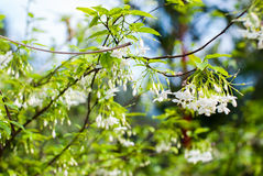 Small white flower, Wrightia religiosa Benth Stock Photos