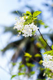 Small white flower, Wrightia religiosa Benth Royalty Free Stock Images