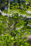 Small white flower, Wrightia religiosa Benth Royalty Free Stock Image