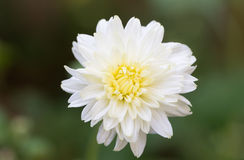 Small white flower Royalty Free Stock Images