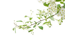 Small white flowers Royalty Free Stock Photography