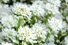 Small white flowers Stock Images