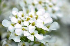 Small white flowers royalty free stock photos