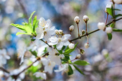 Small white flowers of apple trees. Flowering of small white flowers of apple trees Stock Images