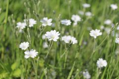 White flowers on the background of green grass in the morning in the field royalty free stock photo