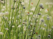 Small white flowers blossom Blooming in the meadow and ladybug o Royalty Free Stock Photos