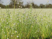 Small white flowers blossom Blooming in the meadow. Ladybug on w Stock Photo