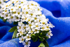 Small white flowers on blue background Royalty Free Stock Photos