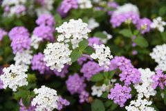 Small white flowers Stock Photos