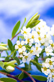 Small white flowers blurred on blue Royalty Free Stock Photos