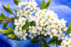 Small white flowers blurred on blue background Royalty Free Stock Image