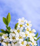 Small white flowers blurred on blue Stock Photos
