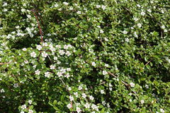 Small white flowers on branches of Cotoneaster horizontalis. In spring Stock Photography