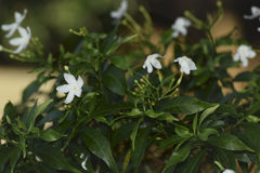 Small white flowers. The flowers are small, white bush Royalty Free Stock Photo