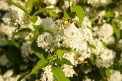 Deutzia lemoinei plant. Many small white flowers on a bush in spring park. Small white flowers on a bush in spring park. Deutzia lemoinei plant stock images