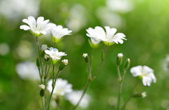 Small white flowers Chickweed or Cerastium arvense. Stock Photo