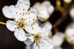 Small White Flowers Close Up Spirea Vanhouttei Stock Image