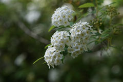 Small white flowers in clusters. On long branch Royalty Free Stock Images
