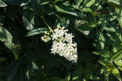 Small white flowers of privet in late spring. Small white flowers of common privet in late spring royalty free stock photography
