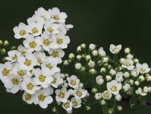Small white flowers on a dark background stock photos