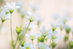 Small white flowers on a delicate pink background. artistic image of flowers saxifrage.