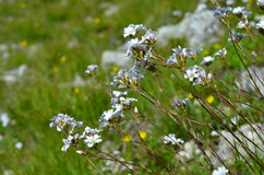 The small white flowers of the field. The small white flowers of the green field Royalty Free Stock Photo