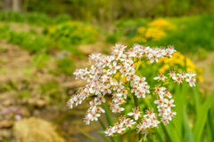 Small white flowers. In a garden Royalty Free Stock Photography