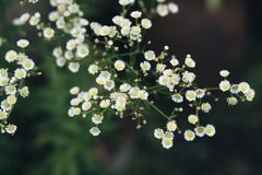 Small white flowers in the garden are blooming i. N the morning royalty free stock images