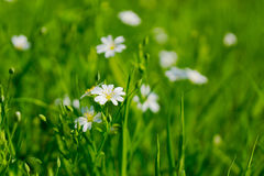 Small white flowers. In the grass Royalty Free Stock Image