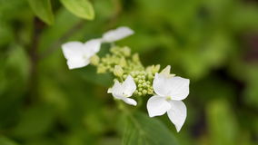 The small white flowers on green background stock footage