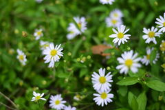 The small white flowers in the green garden. In morning Stock Images