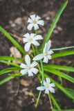 Small white flowers with green leaves. A bush of small white flowers with a yellow center with green leaves grow out of the ground Stock Photo