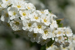 Small white flowers. The small white flowers on a long branch Stock Photo