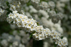 Small white flowers. The small white flowers on a long branch Royalty Free Stock Photo