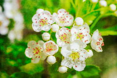 Small white flowers. Macro, with postcard style Stock Photos